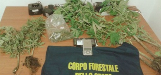 Droga: sette piante di cannabis sativa scoperte in un bosco da Cfs