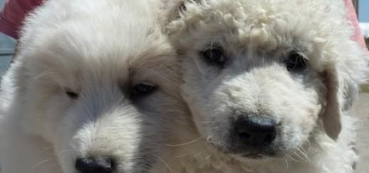 Pecore gregge greggi cane pastore maremmano cucciolo cuccioli