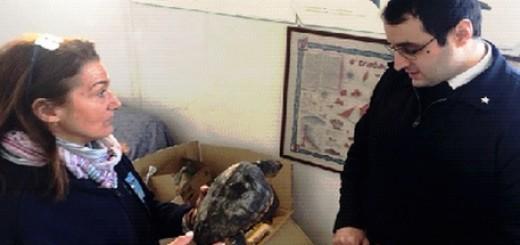 Tartarughe Caretta Carette ritrovate in litorale pesarese