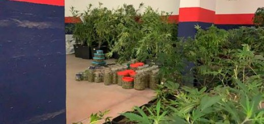 Droga: Cc Urbino sequestrano 113 piante cannabis e 80 kg marijuana.