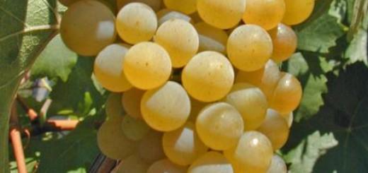 Vino: grappolo di uva bianca