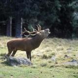 Animali: Cervo di Sibillini