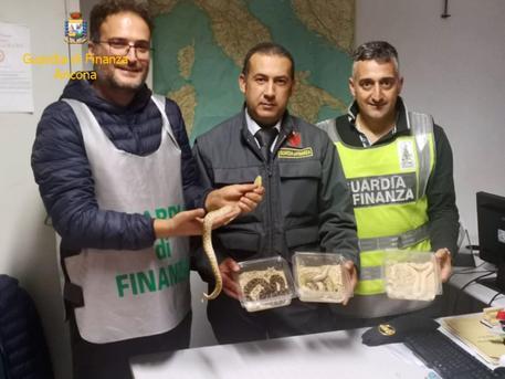 Guardia Finanza sequestra rettili appartenenti a specie protette